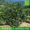 江苏高度2米茶花地苗一棵多少钱,江苏性喜温暖茶花价格实惠