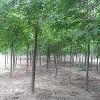 供应白蜡树、白蜡价格、速生白蜡、白蜡苗