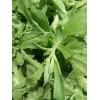 非洲冰菜种子 冰草种子,冰花种子,冰叶日中花种子