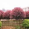 园林工程报价 红叶石楠球 马褂木 八角金盘 火棘球 垂丝海棠