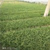 崂峪苔草绿地护坡青绿苔草大面积绿化草坪丹麦草