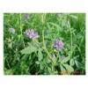 山东济南紫花苜蓿种子图片 山东紫花苜蓿发芽率高