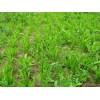 牧草种子高产牧草种子菊苣牧草种子