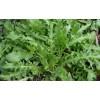 荠菜种子图片 面条菜种子图片 芝麻菜图片