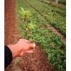中药材金银花种苗出售金银花种植基地直发,量大从优