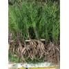 天冬种苗出售天冬种植基地直发,量大从优