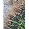 柴胡种子回收,并提供三岛柴胡种苗
