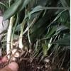 中药材黄精种苗出售黄精种植基地直发,量大从优